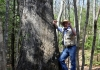 David Sibray inspects some of the many large trees that grow along the Polls Plateau Trail.