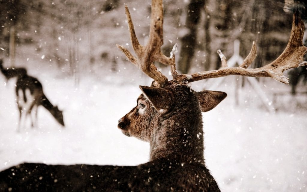 A white-tailed buck forages during winter. Photo courtesy Annika Thierfeld.
