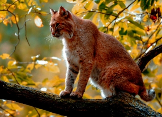 A bobcat perches on a tree limb in the mountains of West Virginia. Photo courtesy W.Va. Dept. of Commerce.