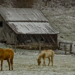 Horses graze in a snow-dusted pasture in Mercer County. Photo courtesy Rick Burgess.