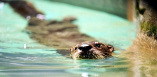 An otter paddles in a pond in West Virginia.
