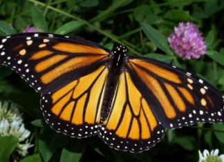 The monarch is West Virginia's official state butterfly.