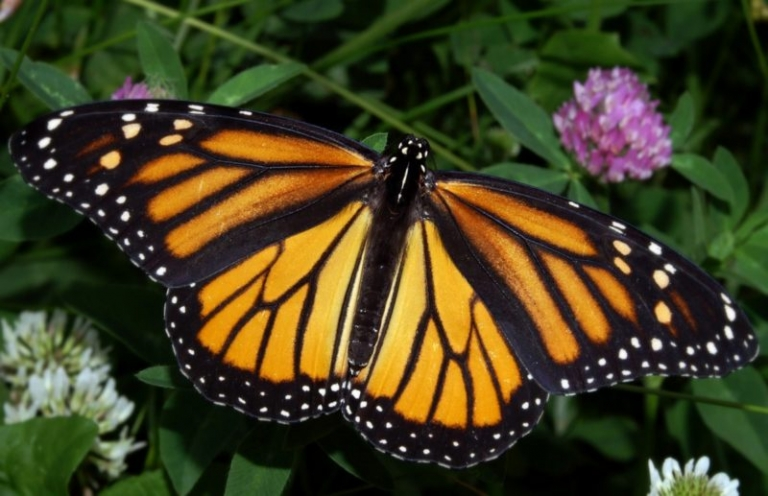 Monarch subject of North Bend park program Jan. 18-20