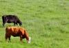 Cattle graze in Jackson County, near Ripley, West Virginia