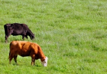 Cattle graze in Jackson County, near Ripley, West Virginia