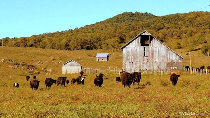 Cattle roam across a pasture near Lewisburg, West Virginia, in the Greenbrier Valley.