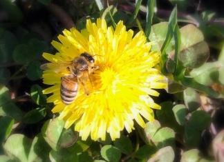 A honeybee pollinates a dandelion in West Virginia