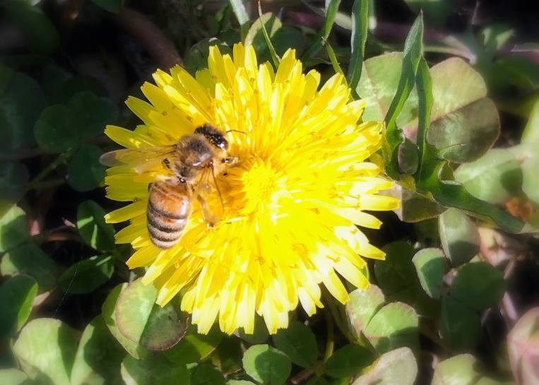 A honeybee pollinates a dandelion in West Virginia