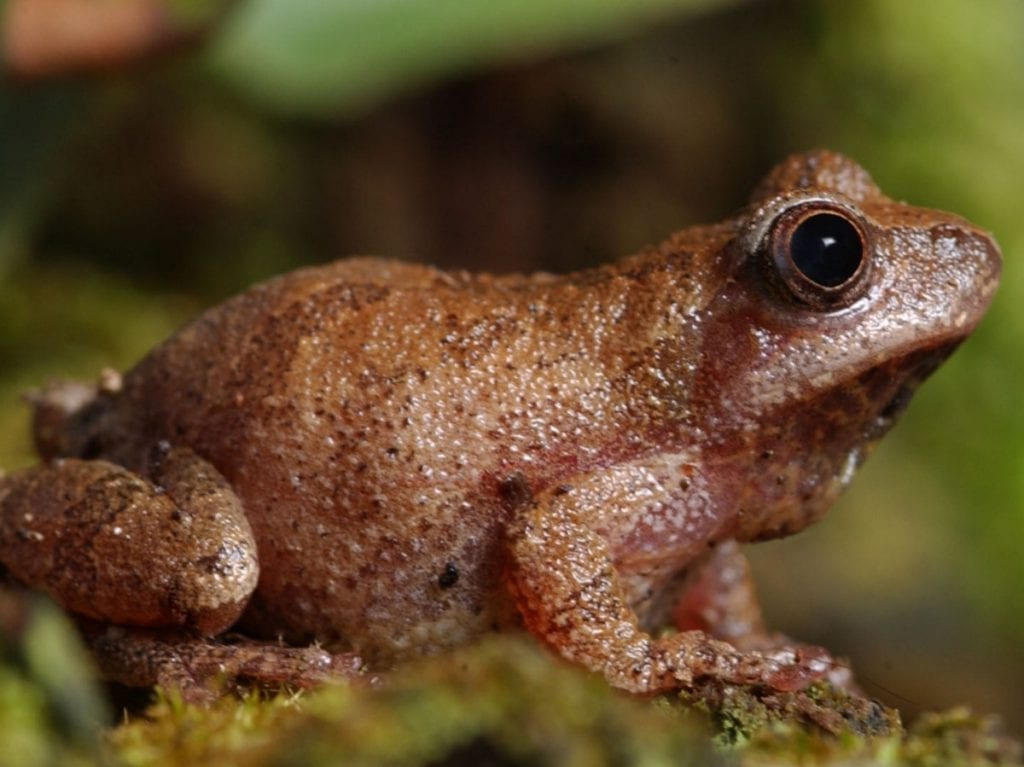 Spring peepers (Pseudacris crucifer) welcome spring to West Virginia with their early March song.