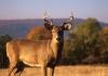 White-tailed deer in West Virginia