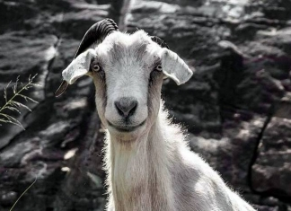 Admirers of the Powell Mountain goat are concerned about its absence.