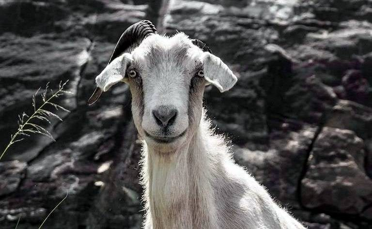 Fans of Powell Mountain goat concerned about its absence