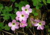 Violet Wood Sorrel blossoms in a woodland. Photo courtesy Wikipedia Commons.