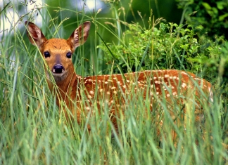 A fawn halts in a West Virginia field. Photo courtesy W.Va. Dept. of Commerce.