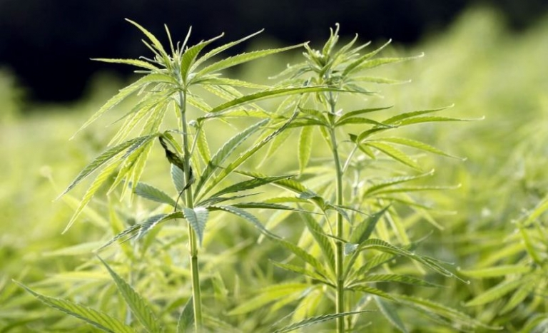 Hemp licenses triple in West Virginia in 2019