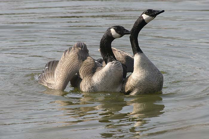 Canada geese groom at the McClintic Wildlife Management Area near Point Pleasant, West Virginia.