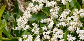 Elderberry blossoms on the edge of a West Virginia woodland.