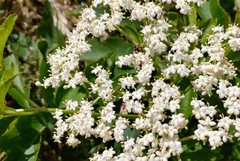 West Virginia remedy, elderberry revered by Celts, Native Americans