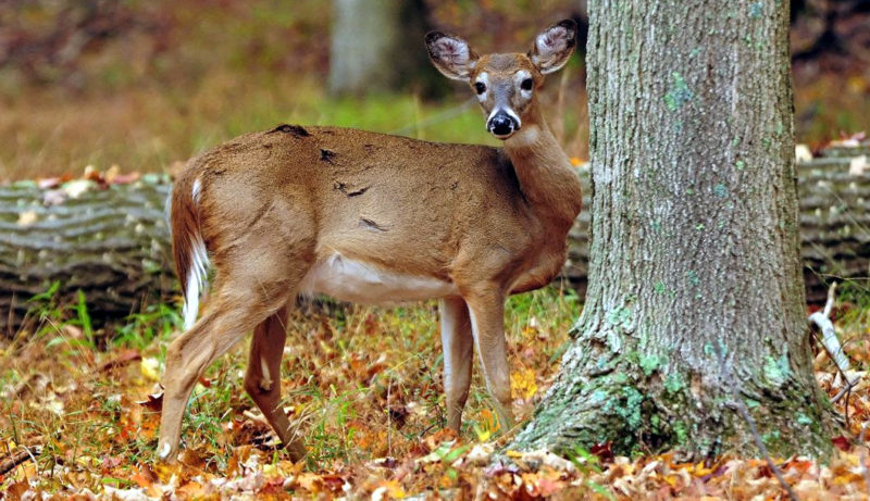 Photo courtesy of the West Virginia Department of Commerce. Applications for 2019 Antlerless Deer Season limited permit areas will be accepted until Aug. 14.