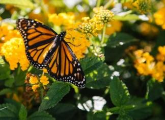 A monarch butterfly feeds in a West Virginia meadow. Photo courtesy Kyle Glenn.