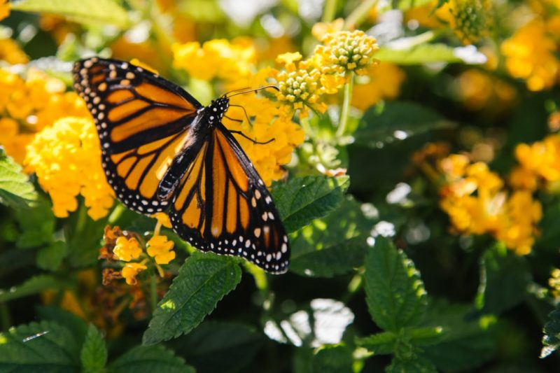 A monarch butterfly feeds in a West Virginia meadow. Photo courtesy Kyle Glenn.