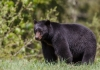 A black bear pauses in a West Virginia glade.