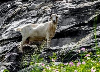 The Powell Mountain goat grazes on cliffs near Summersville, West Virginia.