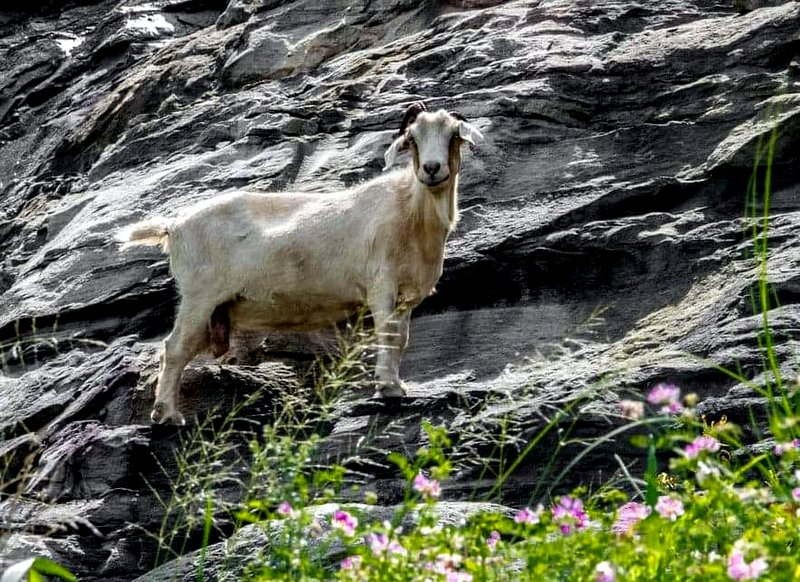 The Powell Mountain goat grazes on cliffs near Summersville, West Virginia.