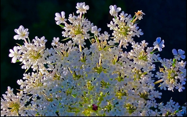 Queen Anne's Lace a notable West Virginia wildflower