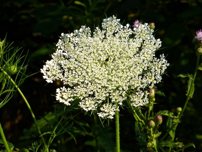 A tiny purple flower appears in a center of a circle of Queen Anne's Lace. Photo courtesy Randy Laxton.