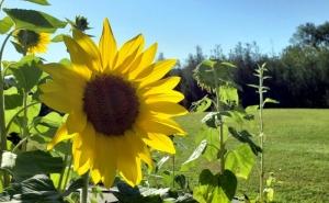 Sunflowers blossom on Fenwick Mountain.