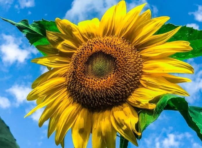 As sunflower captures the radiance of the sun itself near Shinnston, West Virginia.