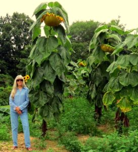 Bonnie Taylor stopped to document a garden of giant sunflowers in Wirt County.