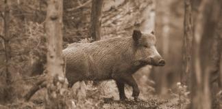 Wild hogs once roamed West Virginia in great numbers.