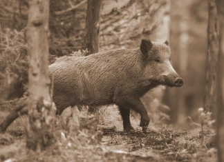 Wild hogs once roamed West Virginia in great numbers.