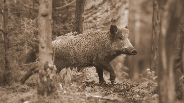 Herds of wild hog once roamed the West Virginia hills