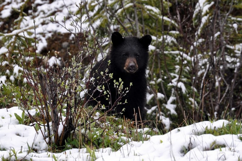 A young black bear peers out from a thicket.