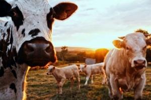 Dairy cattle graze in a meadow.