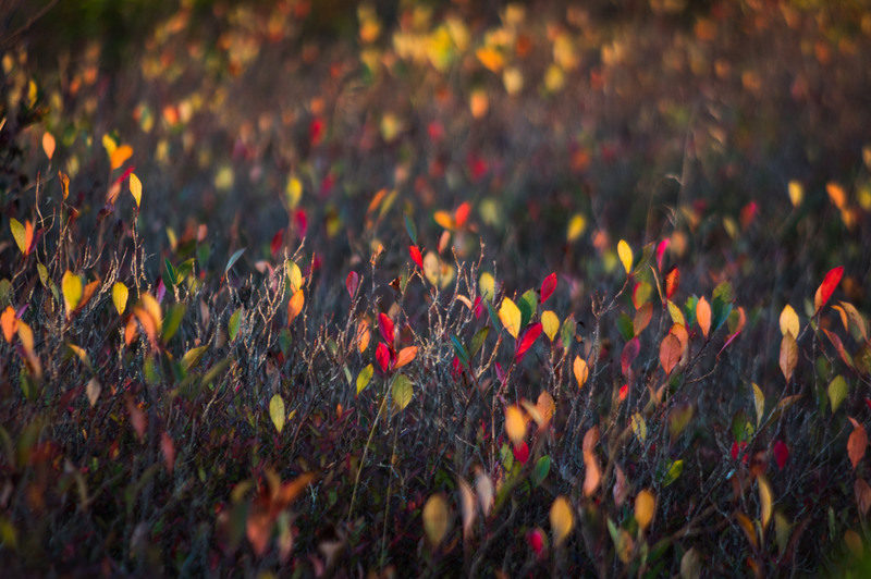 Huckleberry leaves sparkle like gems on Dolly Sods in Tucker County.