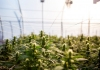 Industrial hemp grows inside a greenhouse.