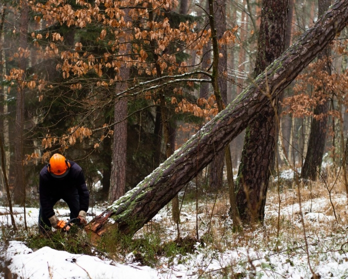A forester manages growth in a West Virginia woodland.