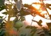 Tomatoes ripen in a West Virginia Garden.