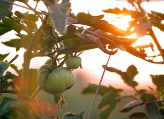 Tomatoes ripen in a West Virginia Garden.