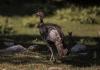 A wild turkey wanders a sunlit glade.