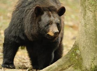 A black bear inspects a beech forest in West Virginia.