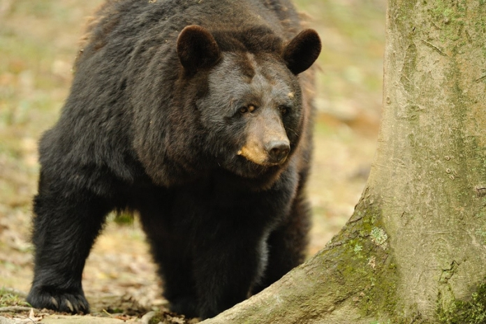A black bear inspects a beech forest in West Virginia.
