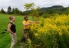 Goldenrod at Healthberry Farm helps produce excellent honey.