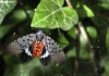A spotted lanternfly (Lycorma delicatula) adult winged.