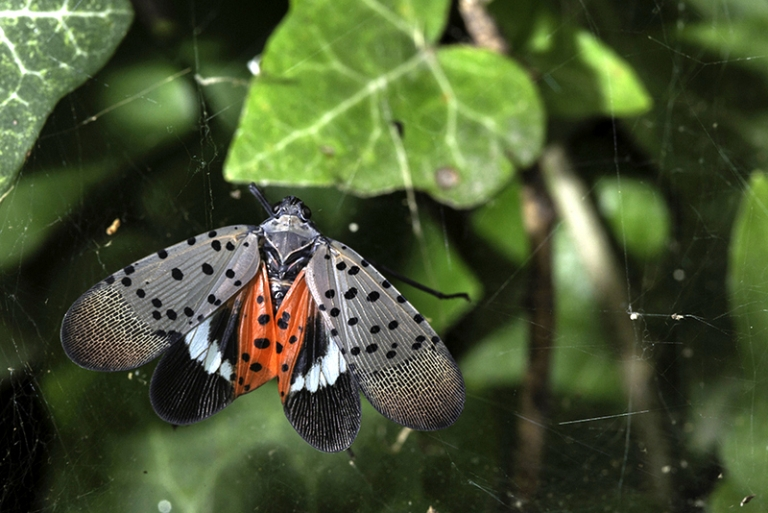 Spotted Lanternfly confirmed in Berkeley County