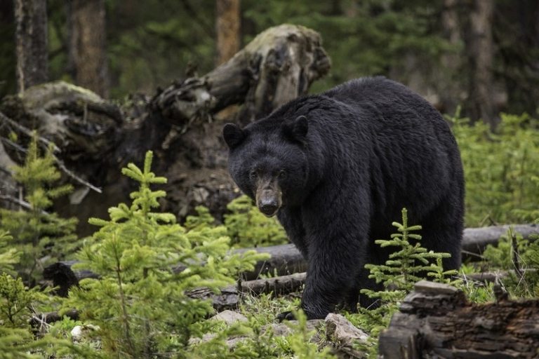 Bear harvest in West Virginia up 19 percent in 2019